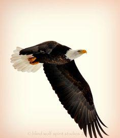 Bald Eagle in Flight Wildlife Bird Photography Fine Art Photo  Photography Etsy  blindwolfspirit