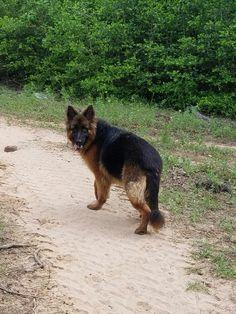 Olga Tarra Shaman, female longhair German Shepherd at VHR Ranch in Paige 5