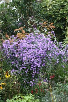 Omschrijving: Winterhard . Hoogte 120cm en 60cm breed - bladverliezend - trekt vlinders aan - snijbloem Vormt grote rechtopgaande pollen. Bloei: sept / okt.Plantvoorschriften : Voorjaar, plantafstand