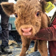 My friend sent me this picture of one of his baby cows via Classy Bro Cute Baby Cow, Baby Cows, Cute Cows, Cute Babies, Baby Elephants, Super Cute Animals, Cute Little Animals, Cute Funny Animals, Fluffy Cows