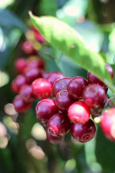 Catuaí coffee cherries in Tarrazú, Costa Rica