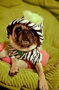 mister miyagi pugs and kisses! Pet Pug, Chihuahua, Pugs In Costume, Costumes, Pug Mops, Cute Pug Pictures, Pugs And Kisses, Husky Mix, Miyagi