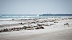 Robben / Kegelrobben am Strand der Norddüne von Helgoland. Ideal für einen Kurztrip an die Nordsee.