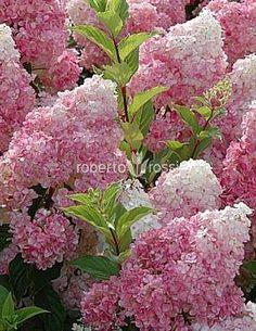 Hydrangea paniculata Vanille Fraise 40-45 cm - Hortensia hortensie Ortensie