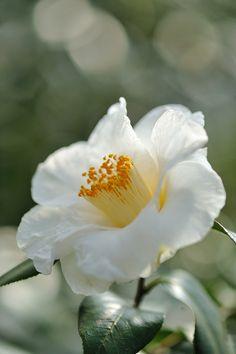 Beautiful white camellia japonica