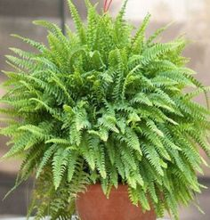 Indoor plants can help clean the air and therefore help eliminate toxins, this is a millenary technique with the use of nature to maintain the balance in homes and health. Discover these 6 indoor plants that clean the air in… Continue Reading → Plant Design, Garden Design, Cheap Landscaping Ideas, Asparagus Fern, Inside Plants, Best Indoor Plants, Interior Plants, Interior Ideas, Tropical Plants