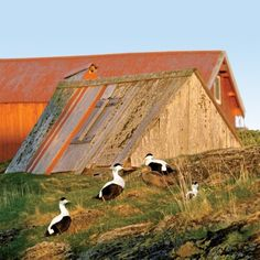 Eider ducks promenade among Lånan's coops in Norway. If you're willing to make the trek, you can help tend to these ducks and harvest their down. Coastalliving.com