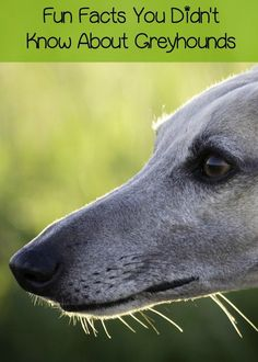 Right here we have your fun facts about Greyhounds in honor of Adopt a Greyhound Month! Check out some things you probably didn't know!