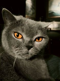 Lady Zenja - a strong headed and lovely British Shorthair. She is a loved guest at our house, when her owner - my sister - goes on tour.