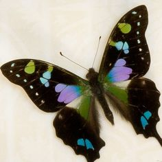 Purple Mountain Swallowtail Butterfly. Butterfly fact: There are many reasons why butterflies are so colorful. Their color helps them to blend in with flowers when feeding. It helps them absorb heat. It also helps them attract a mate.