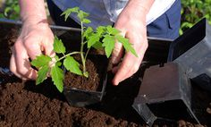 Doing some organic gardening is ideal and these tomatoes gardening tips are some of the best you will come across. Growing tomatoes in pots is ideal if you are suffering from limited garden space. Garden Soil, Lawn And Garden, Garden Plants, Garden Landscaping, Garden Boxes, Green Garden, Tomato Garden, Tomato Plants, Tomato Seedlings