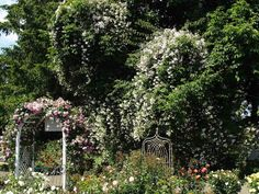 Heirloom Roses Nursery. A Mail Order Nursery You Should Know. Read the full info here http://www.finegardening.com/item/23367/heirloom-roses-nursery-a-mail-order-nursery-you-should-know