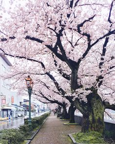 Photographer from Moscow visits Japan in Sakura season and takes fairytale photos - Ichiban Daily Beautiful World, Beautiful Places, Spring Scenery, Cherry Blossom Japan, Cherry Blossoms, Blossom Trees, Nature Wallpaper, Japan Travel, Beautiful Landscapes