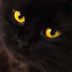 Black cat with yellow eyes!!!!! : blackcats