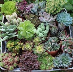 """20 Beautiful 4"""" inch Succulents in their plastic containers $52.95 + $24.49 shipping"""