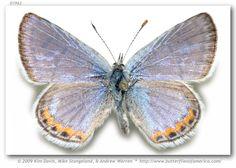 Lupine blue (Icaricia lupini lutzi )