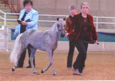 Rfm Thunder's Blue boy - Silver Dapple  Miniature Stallion in Westfield, North Carolina 27053