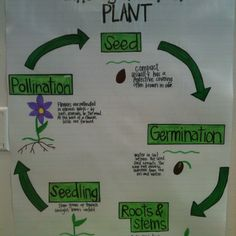Plant life cycle- image only Student Teaching, Teaching Science, Science Activities, Science Projects, Teaching Aids, Montessori Activities, Science Ideas, Preschool Learning, Science Experiments