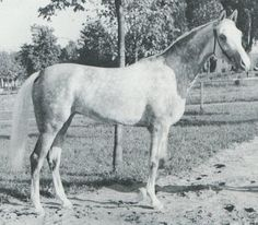DASZAWA (*Naborr x Daribba, by Amurath Sahib) 1958 grey mare imported from Poland 1983 by Patricia Trope; produced no registered purebreds in the US