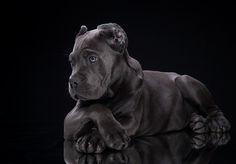 Cane Corso puppy by Tanya Kozlovsky on 500px