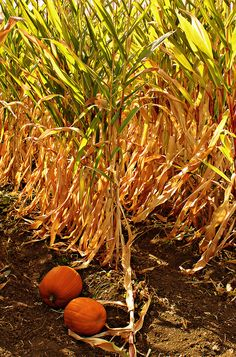 Corn Mazes, Hayrides and Pumpkins - long drives out to the country.... some nice memories <3