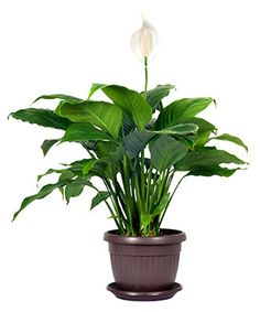 The 4 Reasons Tourists Love Peace Lily For Funeral Indoor Plants Low Light, Best Indoor Plants, Cool Plants, Indoor Trees, Easy House Plants, House Plants Decor, Plant Decor, Lilly Plants, Peace Lily Plant