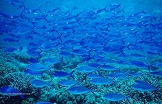 Rush Hour on the Reef, Sipadan Island, Malaysia ~ photo by B N Sullivan for TheRightBlue.com