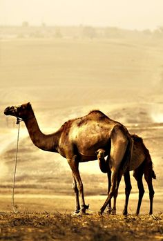 A camel and her calf stand in a field during a sandstorm near Rahat, southern Israel. A heavy sandstorm, which swept across parts of the Middle East could still be felt in Israel on Thursday (Sept 10, 2015). Amir Cohen/Reuters