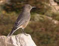 Black-billed Shrike-Tyrant / Agriornis montana