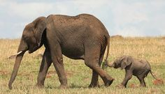 African elephant facts for kids. Get more information about African elephants. Learn about African elephant diet, habitat, scientific name. Happy Elephant, Cute Baby Elephant, Mother And Baby Elephant, Baby Hippo, Elephant Family, Elephants Never Forget, Save The Elephants, Baby Elephants, Giraffes