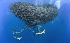Охота дельфинов и акул на скумбрию