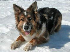 Shep the Australian Shepherd Mix | Dogs |