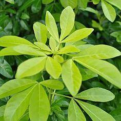 Choisya ternata en Choisya 'Aztec Pearl' zijn aantrekkelijke, groenblijvende struiken. Ze bloeien met wit, geurende bloemen. Wanneer en hoe Choisya snoeien. Wanneer moet je Choisya ternata, Choisya 'Aztec' snoeien. Kort direct na de bloei de uitgebloeide scheuten ongeveer 25 tot 30 cm in. Dit moedigt een tweede bloei aan van de struik, veelal in de late zomer.  Drastisch snoeien Choisya. Is de struik te groot geworden dan kan hij drastisch teruggesnoeid worden. Het beste tijdstip om dat te…