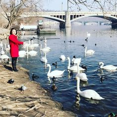 A lot of beautiful swans in the river near Charles Bridge in Prague. Dream come true to feed the swans #ladybossjjgoesprague #lasybossjj