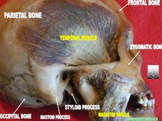 Masseter Muscle Why do some people succeed in losing weight more quickly than…