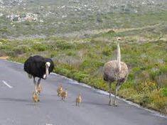 Картинки по запросу есть ли у страуса уши