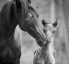 Mare and foal in B&W / naturbildnis.de