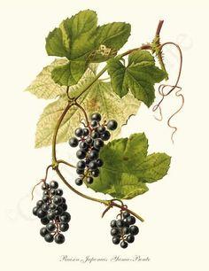 Wild Grape Raisin Japonais Yama-Bouto Fruit Art Print 8x10 Print