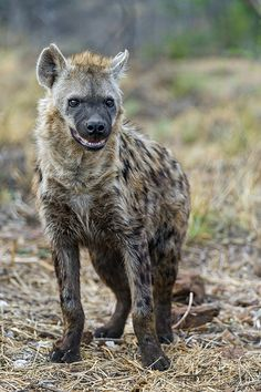 ˚Spotted Hyena