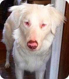 Ontario, CA - Australian Shepherd. Meet Tundra, a dog for adoption. http://www.adoptapet.com/pet/10782924-ontario-california-australian-shepherd