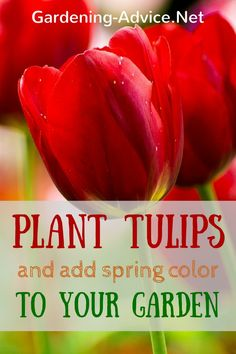 Growing Tulips is an easy thing to do. Learn about planting tulips, when to plant these bulbs and when the best time to plant tulips is. Growing Tulips, Planting Tulips, Tulips Garden, Fall Planting, Garden Bulbs, Daffodils, When To Plant Vegetables, Growing Vegetables, Tulip Care