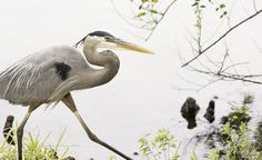 Blue Heron on the prowl Photo by Karen Jacobs Cook — National Geographic Your Shot