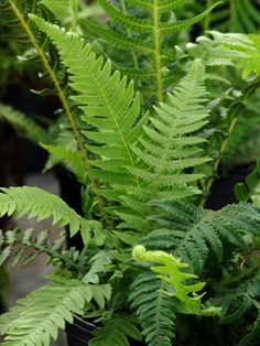 Phegopteris decursive-pinnata (Japanese beech fern) - Fern - Zones 4-10, Height 12-24 in. Also known as Thelypteris decursive-pinnata.