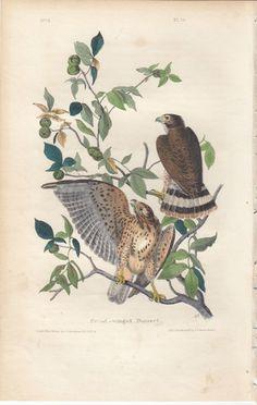 #art Rare Audubon Birds Of America Print 1st Ed 1840: BROAD-WINGED BUZZARD 10 please retweet