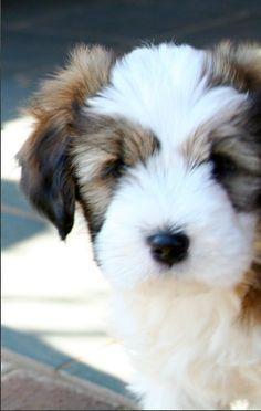 tibetan terrier - yes, i need him