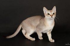 Best Singapura Kitten --- Chamourais Hayate