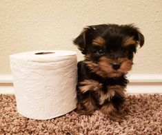 Miniature Yorkie Puppies, Yorkie Puppies For Adoption, Teacup Yorkie For Sale, Yorkies For Sale, Yorkie Puppy For Sale, Yorkie Dogs, Puppies For Sale, Dogs And Puppies, Yorkie Names