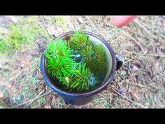 Essbare Natur 4 - Fichtennadel Tee