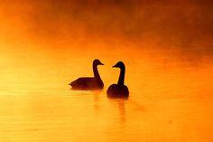 Tundra Swan Pair by Mubi.A