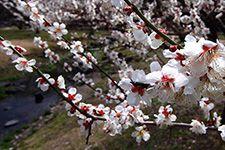 京都御苑梅林